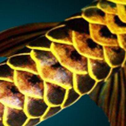 蓝珀金龙鱼