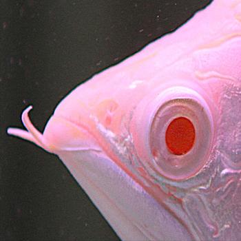 黄吉金龙(白子金龙鱼)